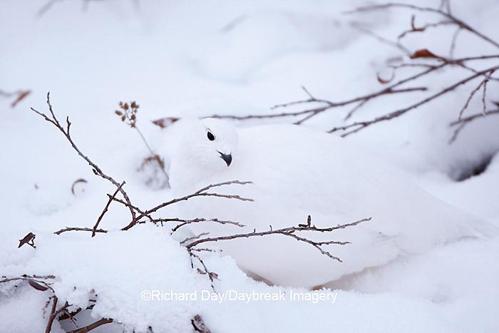 00839-00508 Willow Ptarmigan (Lagopus lagopus) in winter, Churchill Wildlife Management Area, Churchill, MB Canada