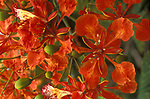 Flame Tree, Delonix regia, Trinidad, ornamental tree in garden