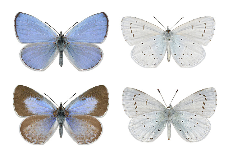 Holly Blue - Celastrina argiolus - male (top row) - female (bottom row). Wingspan 30mm. A familiar sight in mature gardens, especially if the larval foodplants (Holly and Ivy) grow nearby. In flight, looks rather silvery and can be hard to follow. Adult has violet-blue upperwings (seldom revealed at rest) and black-dotted white underwings. Double brooded: flies April-May and August-September. Eggs from spring brood are laid on Holly; in autumn they are laid on Ivy. Larva is green and grub-like. Fairly common in southern England, south Wales and southern Ireland.