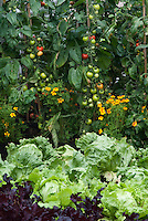 Lettuce Webb's Wonderful, Tomato Shirley, Red lettuce Stealth, planted with marigolds Tagetes companion planting in vegetable garden of flowers and veggies