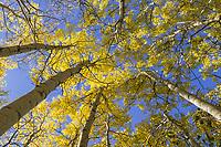 Aspen tree, boreal forest, Fairbanks, Alaska