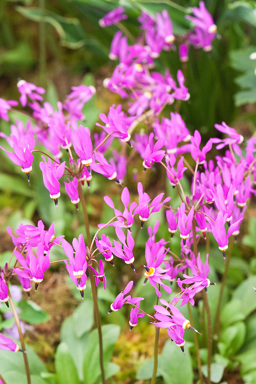 Dodecatheon 'Shorty', mid May. A clump-forming perennial that produces flowers with cerise, downwards-facing, reflexed petals in mid- to late spring. Commonly known as Shooting star.