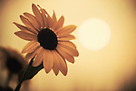 sunflower with tainted brown color and murky sun in the sky affected by the colorado wildfires near boulder show the environmental impact upon air quality and wilderness areas.  selective focus and defocused image.