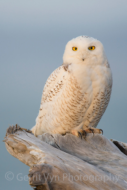 Male Snowy Owl (Bubo scandiacus) perched on coastal driftwood. Ocean County, Washington. March.