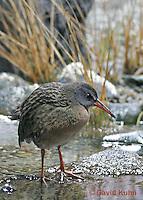 "0102-08rr  Virginia Rail ""Freshwater Marsh Bird"" - Rallus limicola   © David Kuhn/Dwight Kuhn Photography."