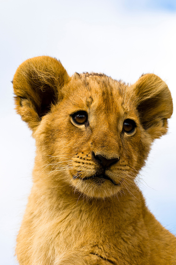 3 1/2 month old lion cub, Lion Park, Johannesburg, South Africa