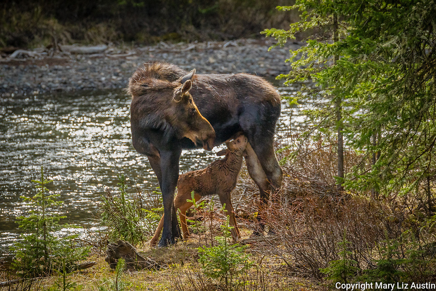 Yellowstone National Park, WY: Cow Moose nursing calf