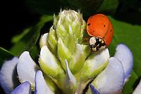 Bluebonnet Bud and Lady Bug