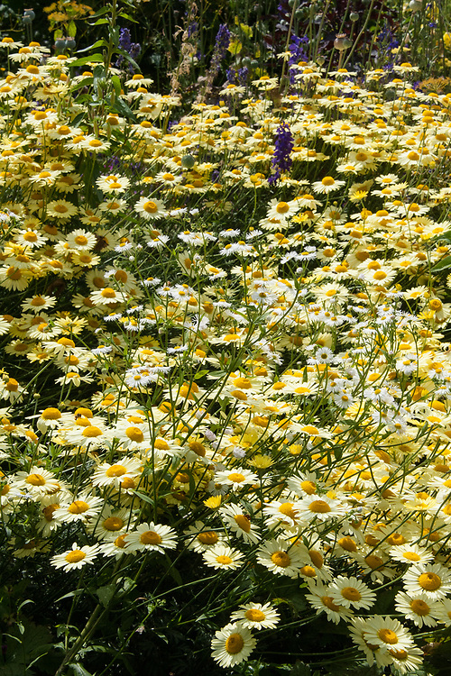 Pale yellow Anthemis tinctoria 'E.C. Buxton' and white Anthemis 'Cally Cream', mid July.
