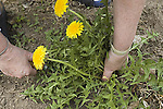 Digging Common dandelion, Taraxacum officinale