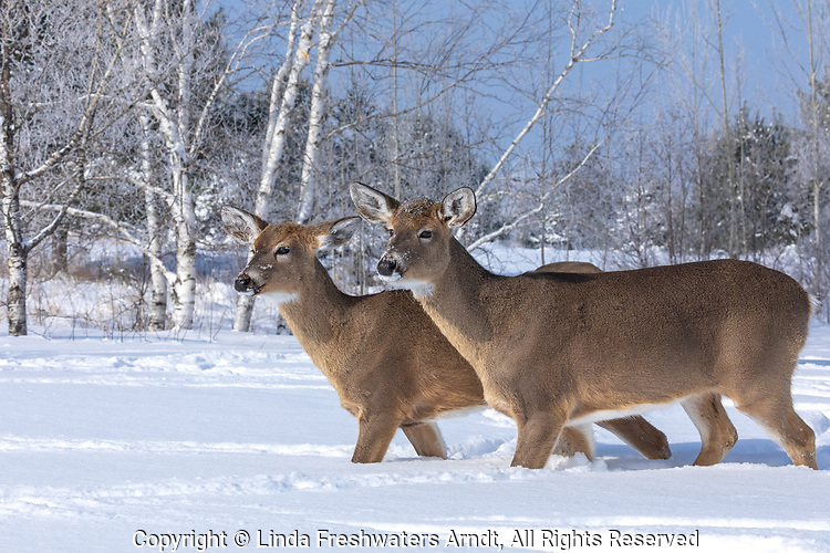 Two white-tailed does walking in the deep snow in northern Wisconsin.