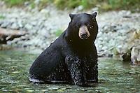 Black bear (Ursus americanus) large male sitting in stream