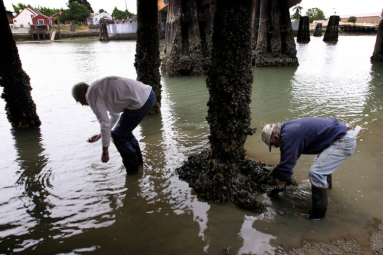Scientists collect samples under a pier and then take them to a lab to study their finds. They are participating in a Rapid Assessment survey in the waters of San Francisco Bay, THE most <br /> impacted ecosystem in the world. Since 1970, on average, one new species has been introduced every 24 weeks into the bay and surrounding estuaries. According to Dr. Andrew Cohen of the San Francisco Bay Estuary Institute, the bay has over 240 invasive species. For the past 15 years Dr Andy Cohen has been leading a group of scientists on a rapid assess survey to identify and quantify organisms