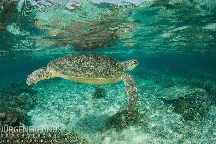Mating green turtles (Chelonia mydas) in the reef shallows. Sipadan Island, Sabah, Malaysia. 23 June 2009