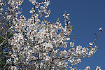 Blooming fruit tree