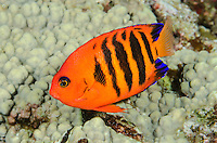Flame Angelfish, Centropyge loricula, Solomon Islands, Pacific Ocean