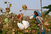 INDIA Madhya Pradesh , organic cotton project in Kasrawad , woman harvest bio cotton by hand / INDIEN Madhya Pradesh , Projekt fuer biodynamischen Anbau von Baumwolle in Kasrawad, Frauen ernten Biobaumwolle durch Handpflueckung
