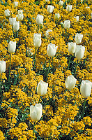 field of white tulips in golden wall flowers. botany, plants, gardens, ground cover, bloom, blooms, landscaping. California, garden.