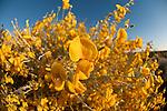 Australian desert wildflowers - Loose-flowered rattlepod (Crotalaria eremaea)