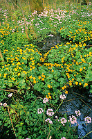 Dotterbloem (Caltha palustris) met Pinksterbloem (Cardamine pratensis).