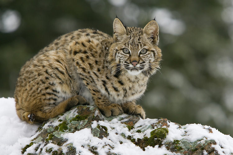 Bobcat lying on top of a rocky snow-covered hill