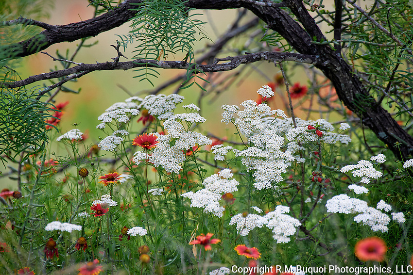 Yarrow and Indian Blankets