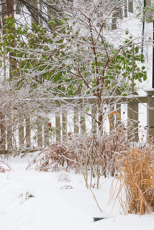 Acer griseum, Syringa Palibin lilac, ornamental grass, picket fence, winter snow and ice