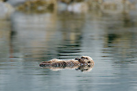Sea Otter (Enhydra lutris) pup sleeping while mom dives for food.