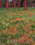 Ochoco National Forest, OR<br /> Red  paintbush and mule's ears blooming in an open ponderosa pine forest at Big Summit Prairie in the Ochoco mountains
