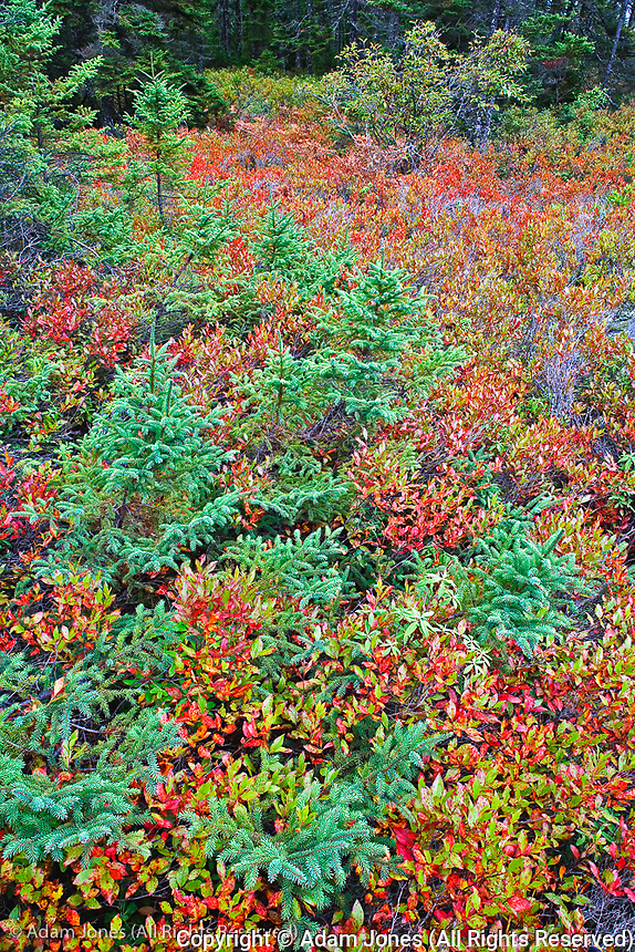 Autumn blueberry foliage in Spruce Fir and Pitch Pine forest, Wonderland Trail, Mount Desert Island, Acadia National Park, Maine