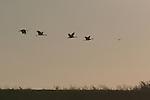 Sandhill cranes in flight near Walnut Grove
