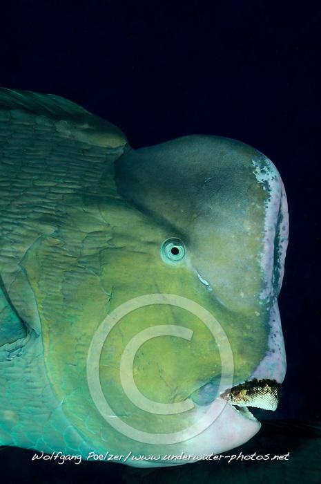 Bolbometopon muricatum, Bueffelkopf-Papageifisch, Green humphead parrotfish, Bali, Tulamben, drop off, Indonesien, Indopazifik, Indonesia, Asien, Indo-Pacific Ocean, Asia