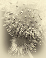 Milk Thistle seed that has come to rest on an empty head below..