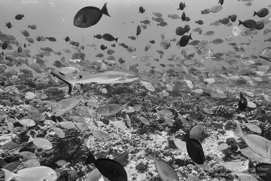 Fakarava Atoll, Tuamotu Archipelago, French Polynesia; a gray reef shark swimming through a large school of yellowmask surgeonfish