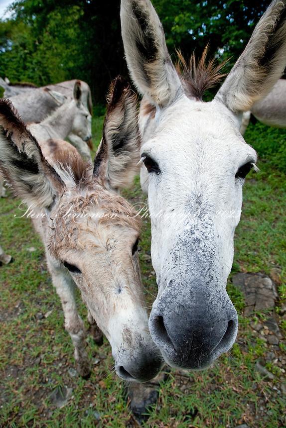Local Donkeys<br /> St John<br /> U.S. Virgin Islands
