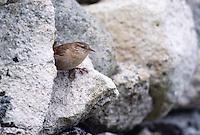 St Kilda Wren - Troglodytes troglodytes hirtensis