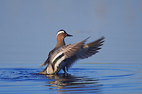 Garganey, Anas querquedula, male bathing, National Park Lake Neusiedl, Burgenland, Austria, Europe.
