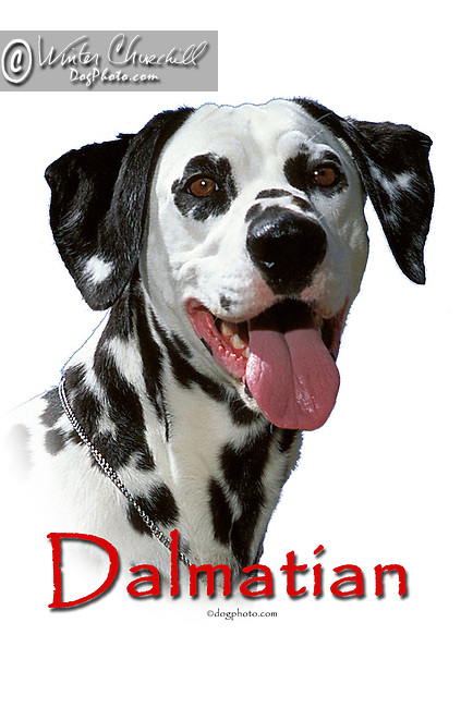 Dalmatian This design is offered on gift merchandise ONLY.<br /> <br /> You'll find all the merchandise options listed IN THE CART so add a design to your shopping cart first. All merchandise item are shipped straight to you from our lab in Dallas, Tx.