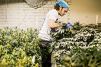 Junior Grower Josh Ginsberg (cq) checks marijuana plants for bugs at a Good Meds Network grow house in Denver, Colorado, Tuesday, December 3, 2013. <br /> <br /> Photo by Matt Nager