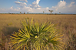 Lone saw palmetto (Serenoa repens) in the Copeland Prairie in Big Cypress National Preserve, Florida