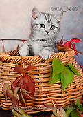 Carl, ANIMALS, photos(SWLA3843,#A#) Katzen, gatos
