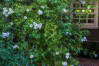 Pandorea jasminoides  Bower Vine, flowering vine, Marin Art and Garden Center
