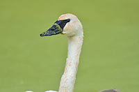 Trumpeter Swan (Cyngus buccinator) who has been feeding on duckweed, Western U.S., Fall.  Duckweed is an important high-protein food source for waterfowl.
