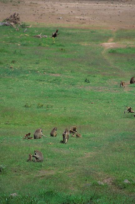 KENYA, AMBOSELI NATIONAL PARK, YELLOW BABOONS (Papio cynocephalus)