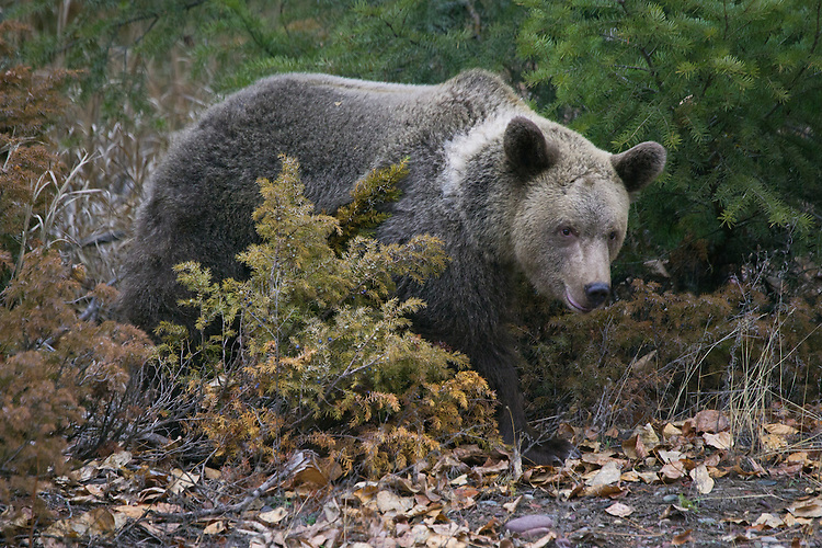 Grizzly Bear emerging from the brush - CA