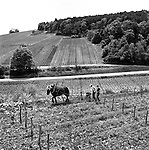 Horse ploughing the vineyard at Aux Brulees vineyard_Vosne Romanee