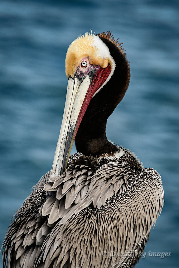 A portarait of a Brown Pelican preening at La Jolla Cove near San Diego, California.