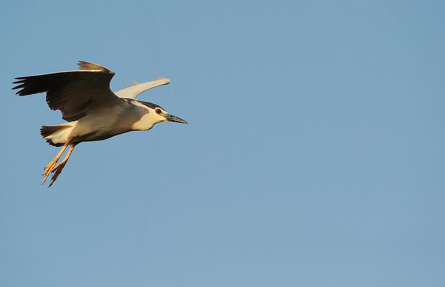 Night heron, Nycticorax nycticorax, Lake Kerkini, Macedonia, Greece