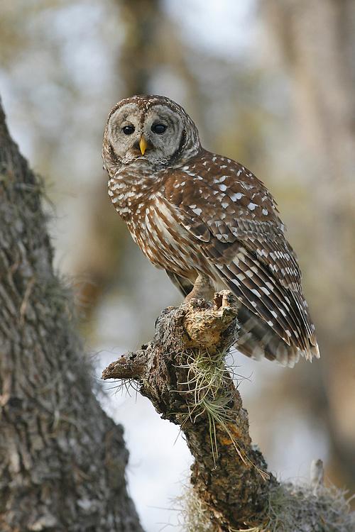 Barred Owl - Strix varia - Adult