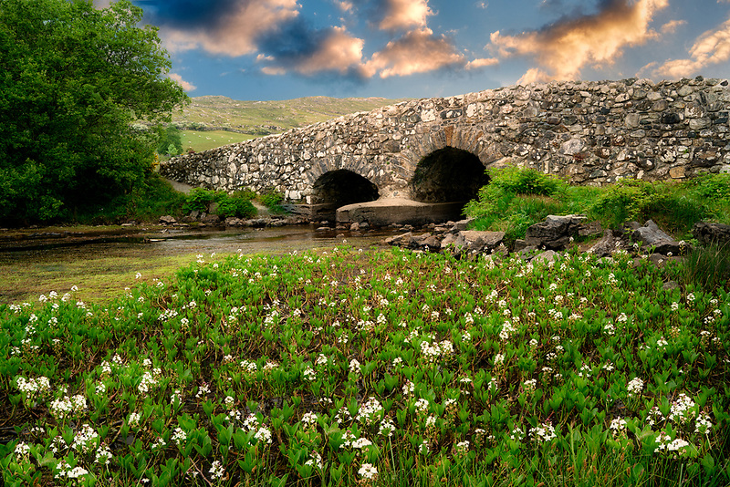 Bogbean wildflowers and Leam Bridge near Oughterard, Ireland. Featured in the Quiet Man film. Ireland